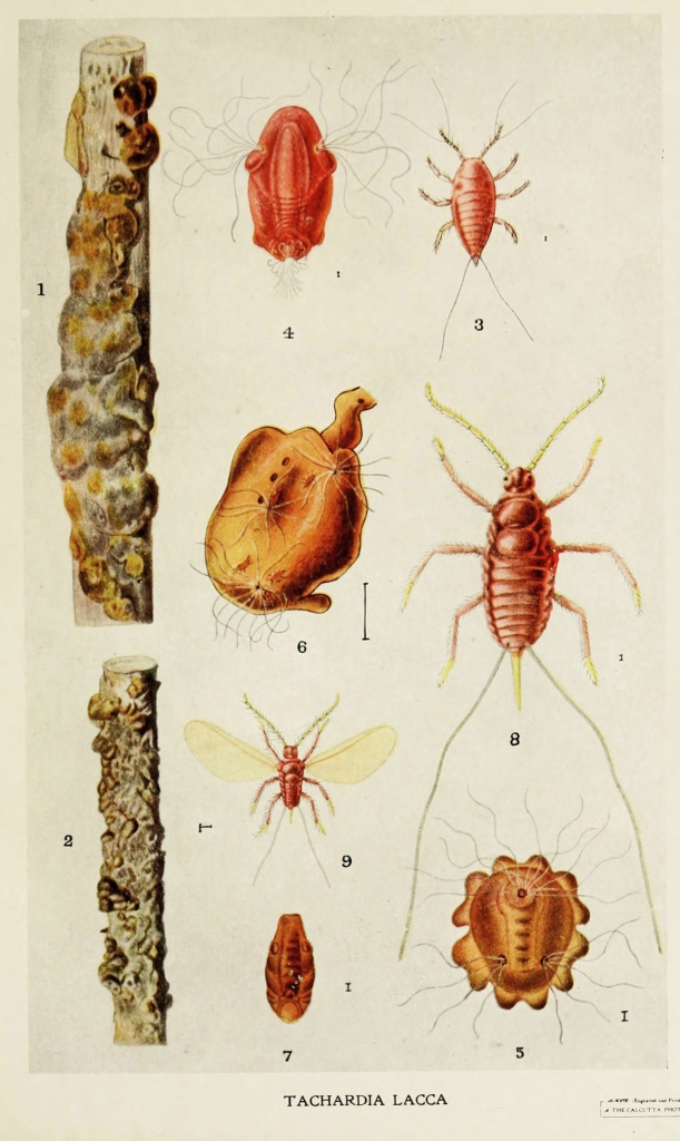 02-Indian-Insect-Life_-_Harold_Maxwell-Lefroy_-_Kerria-Lacca